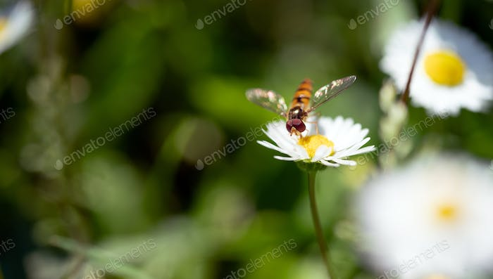 Macro photo of a flying insect on the beautiful white flowers is in the garden