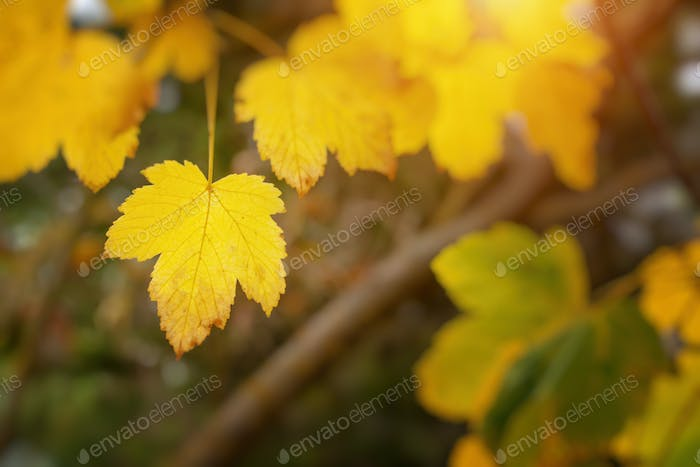 Autumn leaf of maple tree.
