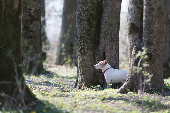 Pretty jack russel terrier dog on spring forest