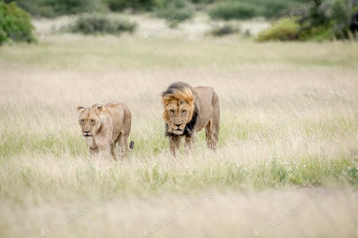 Lion couple walking towards the camera.