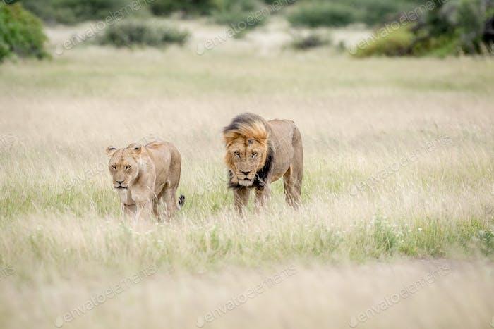 Una pareja de leones caminando hacia la cámara.