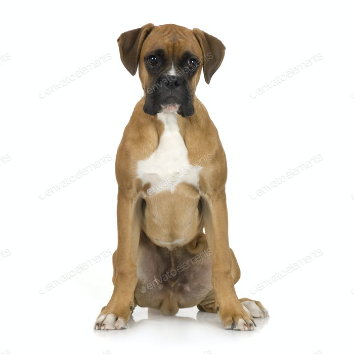 Welpen Boxer (5 Monate)