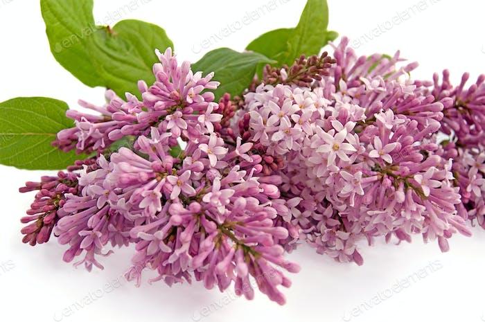 Lilac Knospe