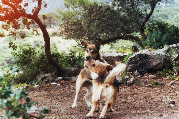 Two dogs fighting with each other Carpathians. Ukraine. Europe