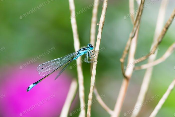 Bluetail damselfly on a twig