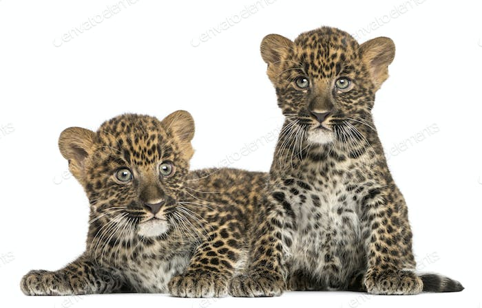 Two Spotted Leopard cubs lying down and sitting - Panthera pardus, 7 weeks old, isolated on white