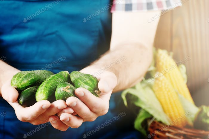 Farmer hold fresh organic cucumbers in his hands. Vegetable harv