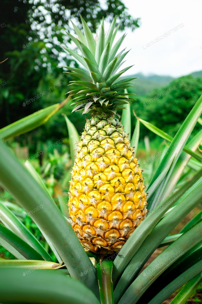 Ripen pineapple waiting for harvest