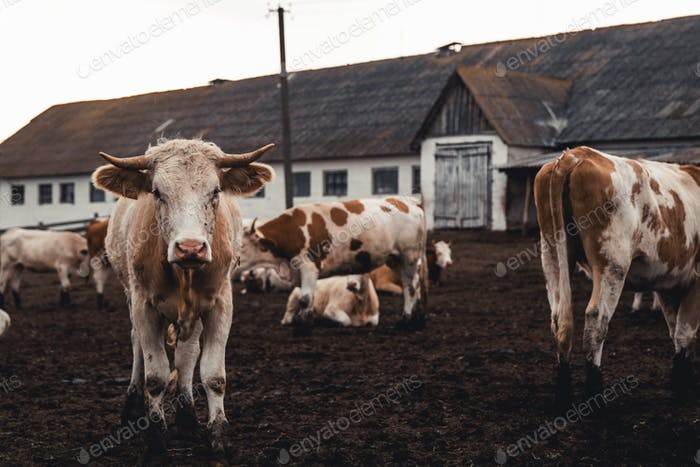 Cows on the form. Milk production. Household animals