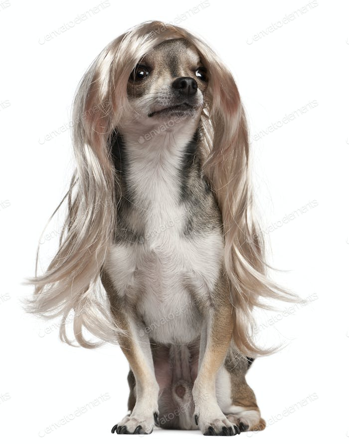 Chihuahua with long hair wig, 3 years old, sitting in front of white background