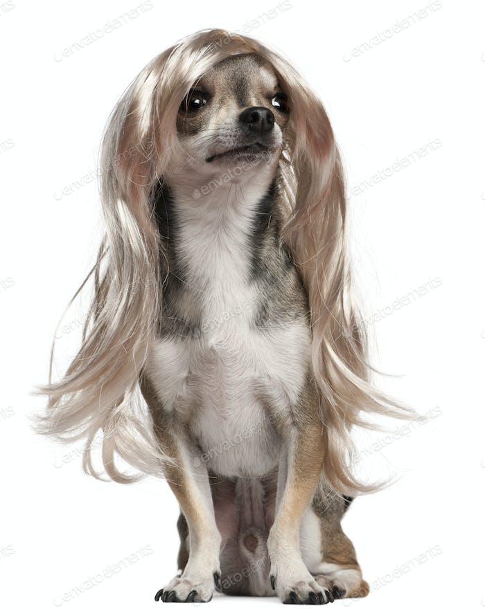 Chihuahua con peluca de pelo Largo, 3 años, sentado frente al Fondo blanco