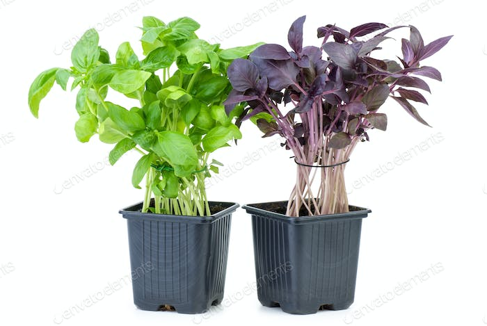 Green and purple basil growing in the flowerpot