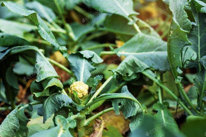 Cauliflower baubles on planting