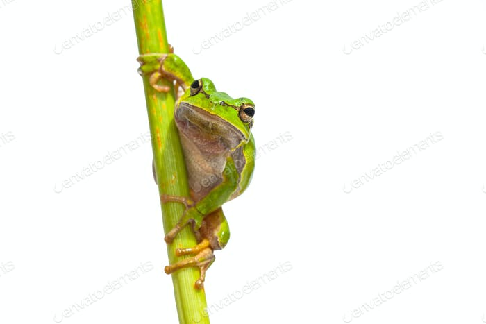 Green European Tree frog frontal vertical