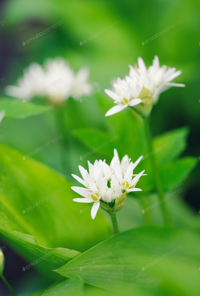 Wild garlic flowers at springtime (Allium ursinum), edible culin