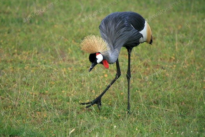 Crested / Crowned Crane, Uganda, Africa