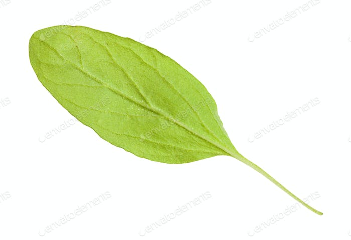 back side of green leaf of marjoram herb isolated