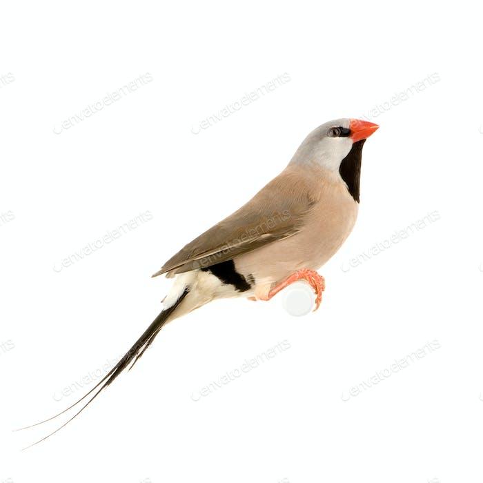 Long-tailed Finch - Poephila acuticauda
