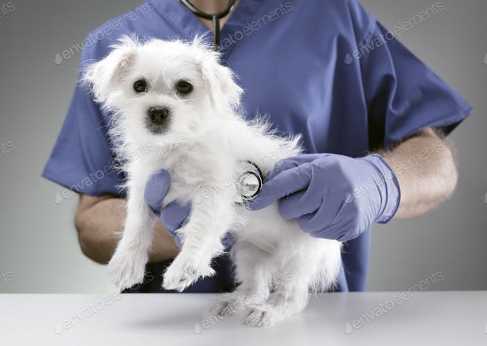Veterinarian doctor examining a Maltese puppy