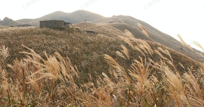 Silver grass on Mountain