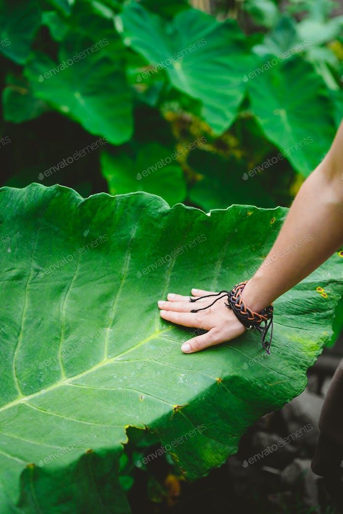 Weibliche Hand streicheln berühren riesige Lotusblatt