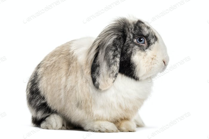 Lop Rabbit , 1 year old, sitting against white background