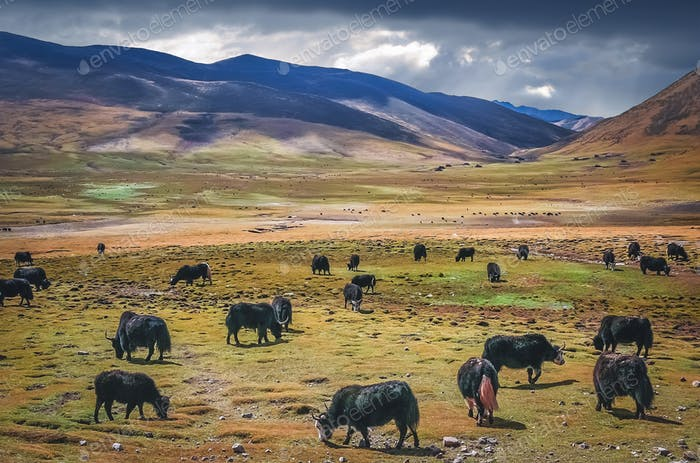 Large Yak herd grazing  in Himalaya