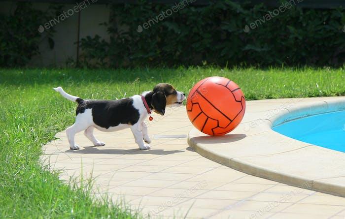 Süßer Beagle Welpe
