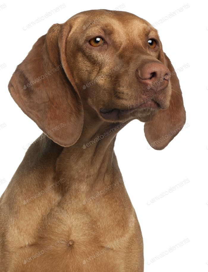 Close-up of Vizsla, 2 years old, in front of white background