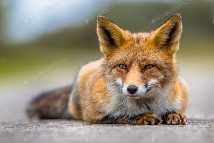 Relaxing European red fox lying on the ground