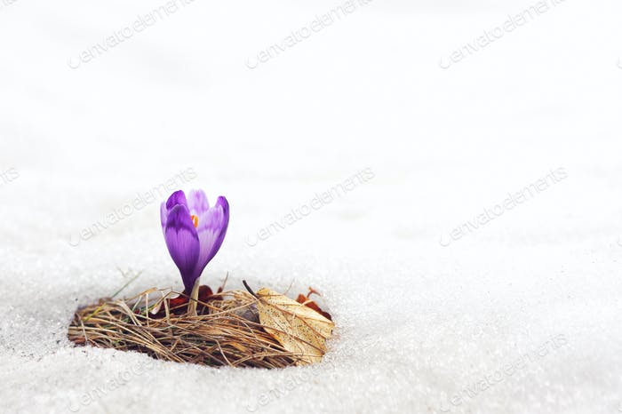 Alone crocus flower in snow