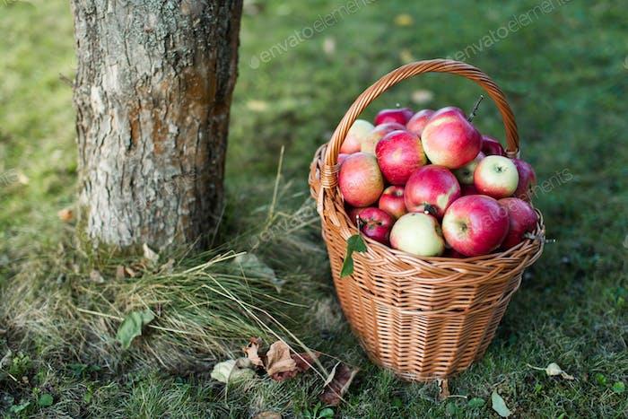 Korb voller glänzender Äpfel im Garten
