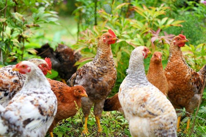 Hens in field organic farm. Free range chickens on a lawn