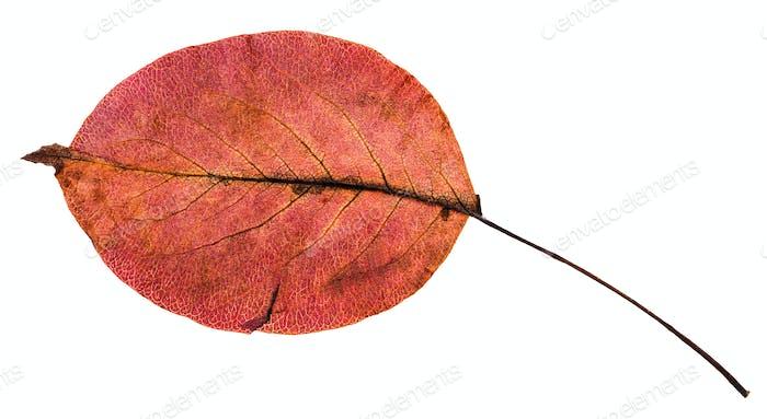 Rückseite der roten Herbstblatt Birnenbaum