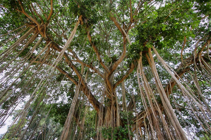 Very big banyan tree in Java island