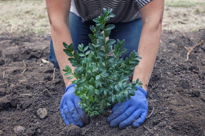 Man planting a tree or shrub in a garden