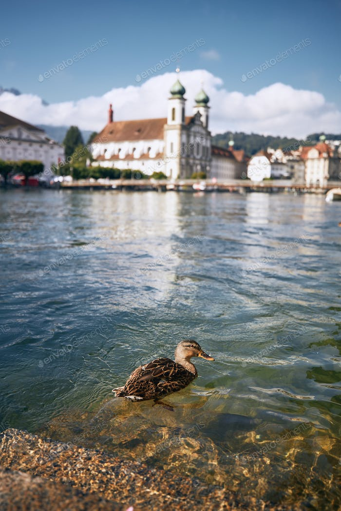 Duck swimming in river against waterfront in Lucern