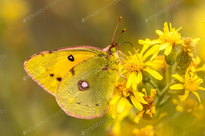 Butterfly Pale clouded yellow