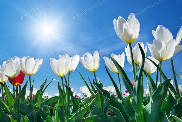 Tulips on blue sky