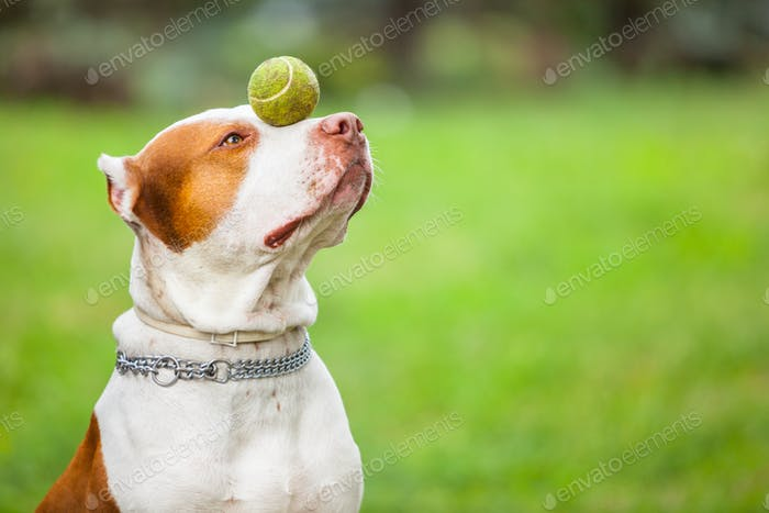 Beautiful dog playing with ball