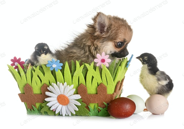 puppy chihuahua and chicks
