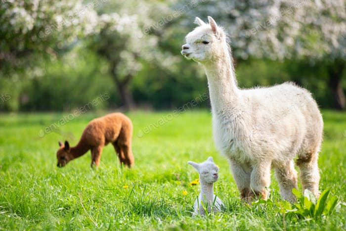 White Alpaca with Offspring