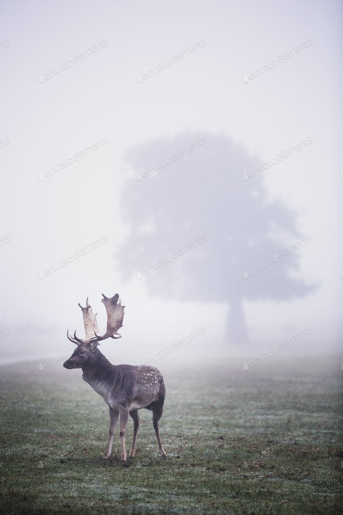 Stag in park on a misty morning, tree in background.