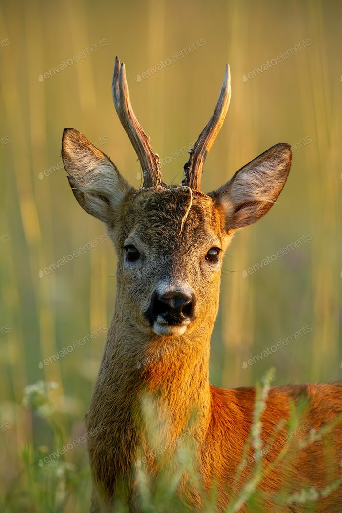 Close-up of roe deer buck standing in last evening sun rays in summer