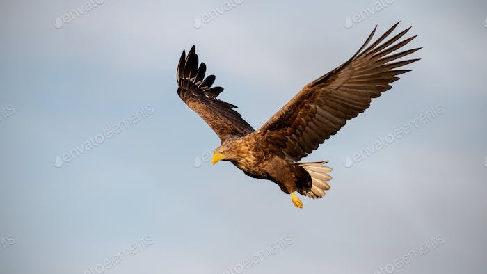 Adult white-tailed eagle flying against sky at sunset