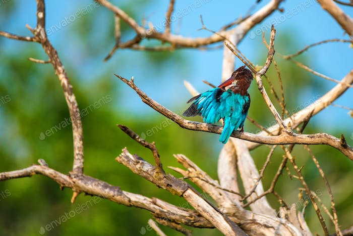 White-throated kingfisher or Halcyon smyrnensis