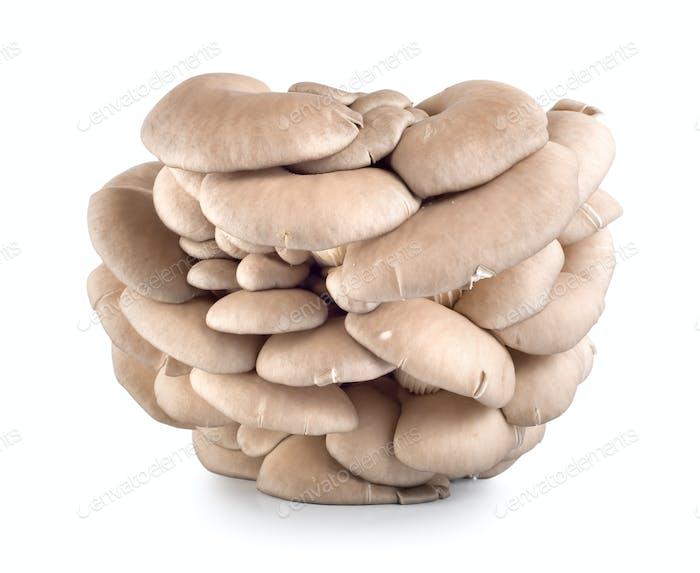 Oyster mushroom isolated on white
