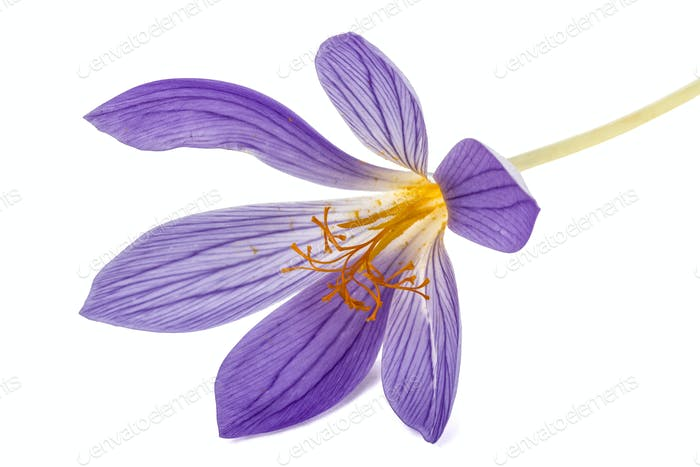Violet flower of Colchicum close-up, isolated on white backgroun