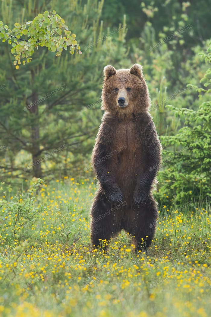 Majestic brown bear standing upright on glade in summer forest