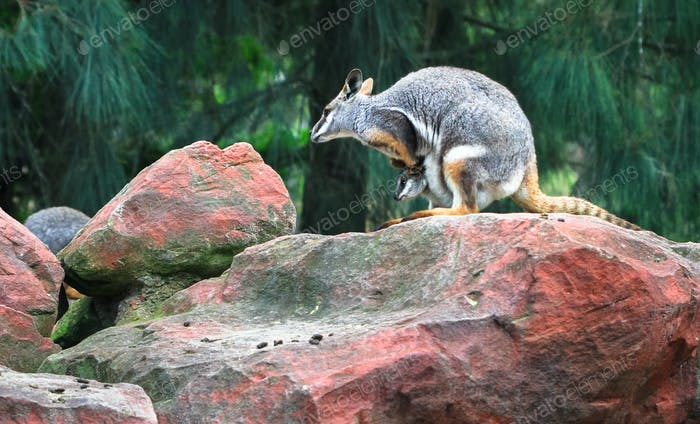 Yellow-footed Rock-wallaby With a Joey